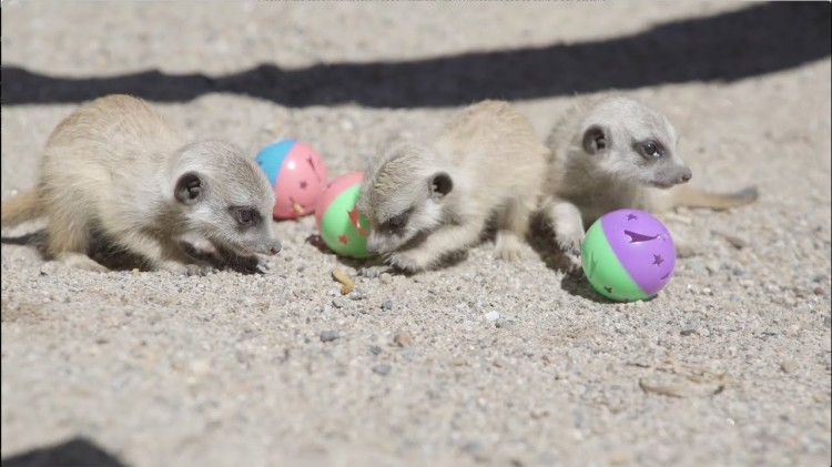 A Trio of Tiny Baby Meerkats Learn How to Forage Using Colorful Plastic Balls With Treats Inside