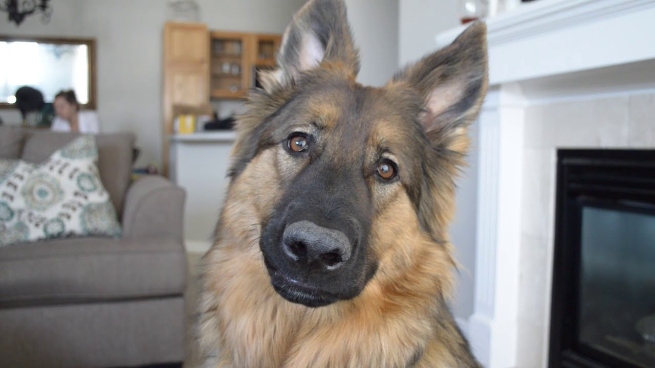 An Unemployed Man Finds Surprising Inspiration From His Wonderfully Goofy German Shepherd