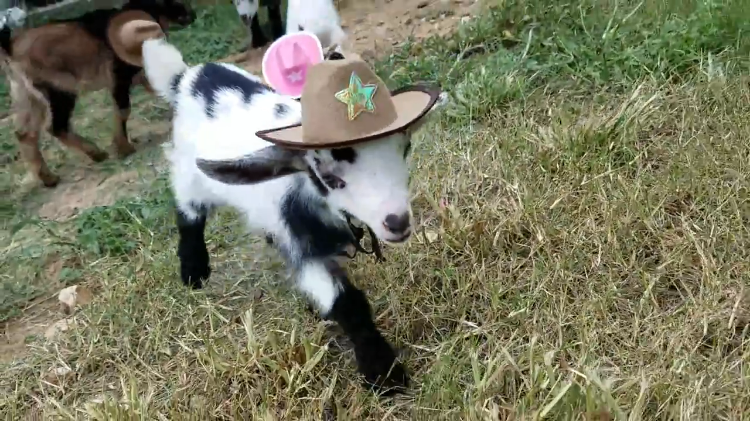 Tiny Baby Goats Wearing Tiny Cowboy Hats Romp Around In The Yard Of An Austin Texas Yoga Studio 1nw6y on Home Yoga Studio Design