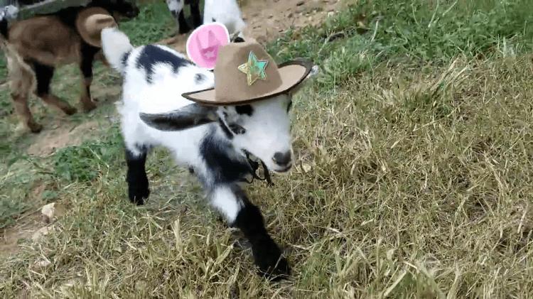 Baby Goat Wearing Cowboy Hat