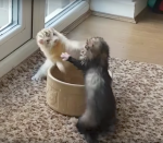Ferrets Fight Over Water Bowl