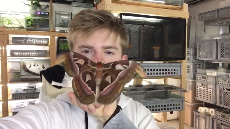 Insect Breeder Lets a Gorgeous Giant Atlas Moth Flutter and Crawl Around on His Face