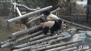 Giant Panda Cubs Falling Down