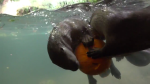 Otters Competing Pumpkin Fish