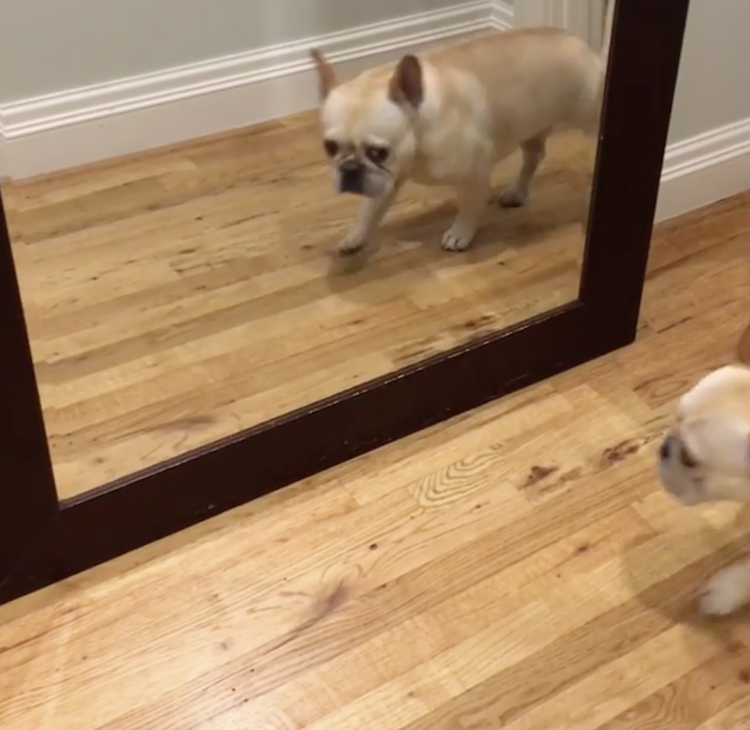 An Adorable French Bulldog Is Completely Startled by His Own Reflection While Walking Past a Mirror