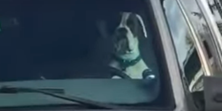 Loud Car Horn >> An Impatient Dog Continuously Honks the Car Horn While ...
