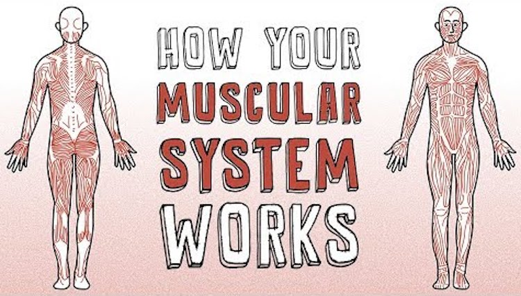 A Fascinating Animation Explaining The Muscular Mechanics Behind All