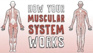 How Your Muscular System Works