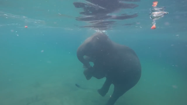 A Graceful Little Elephant Bobs for Apples While Going for a Relaxing Swim at the Oregon Zoo