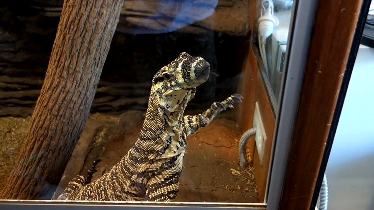 Reptile Expert Trains a Monitor Lizard to Wave Whenever He Wants to Come Out of His Enclosure