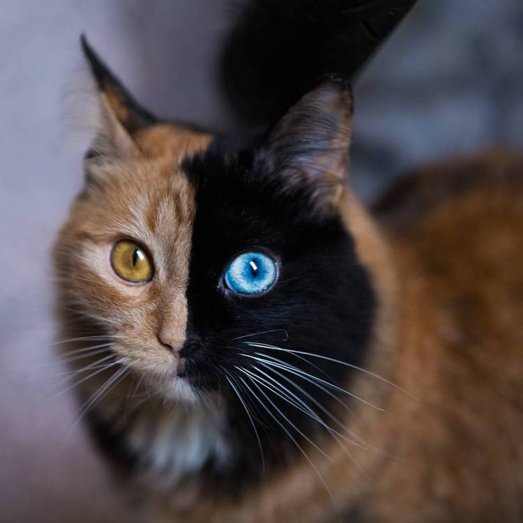 A beautiful tortoiseshell cat whose adorable face is divided in half by different colors on each - Images of tortoiseshell cats ...