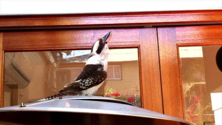 A Vociferous Kookaburra Lets Out an Impressive Call