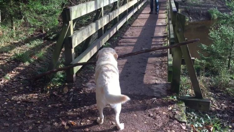 An Amusingly Persistent Dog Tries to Figure Out How to Carry a Long Stick Across a Narrow Bridge