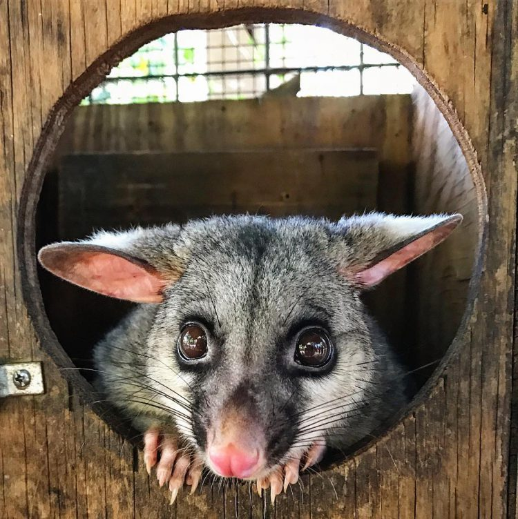 Coyote Peterson Tries to Bribe an Adorable Brushtail Possum Named Blossom With Bits of Yummy Food
