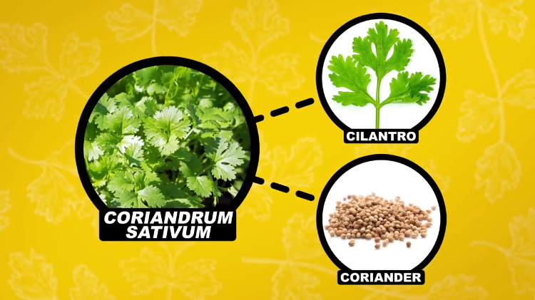 The Possible Physiological and Genetic Reasons Why Cilantro Tastes Like Soap to Some People