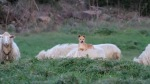 Dog on Sheeps Back