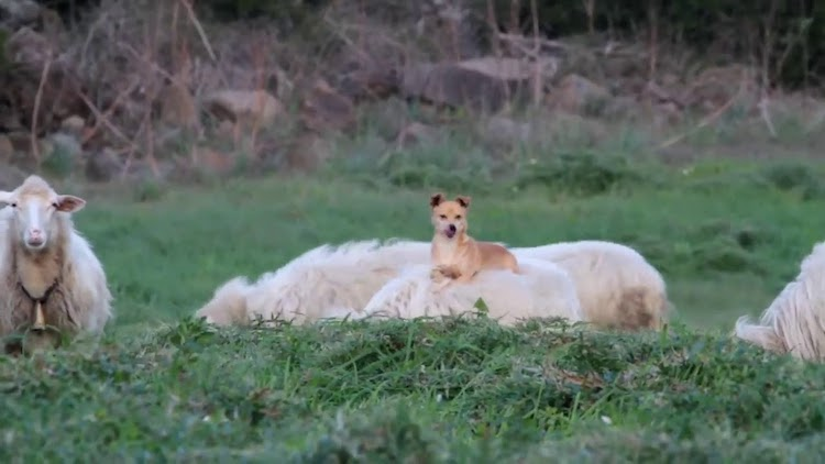 A Little Dog Sits Comfortably On Top of a Completely Oblivious Long Haired Sheep