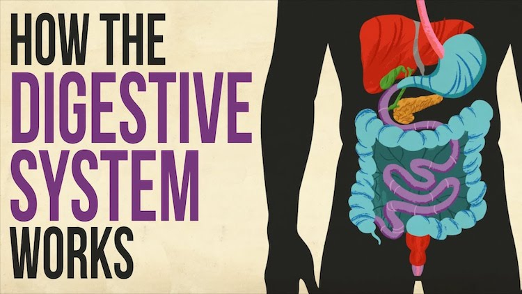 How the Human Digestive System Works In Order to Transport Necessary Nutrients to the Body and Brain