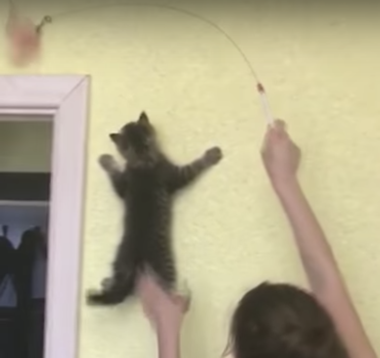Tiny Kitten Scales a Wall In Pursuit of a Feathery Toy
