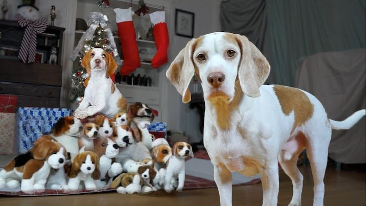 Maymo the Lemon Beagle Unexpectedly Finds a Surprise Christmas Puppy In a Pile of Plush Beagles