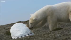 Polar Bear SnoCam