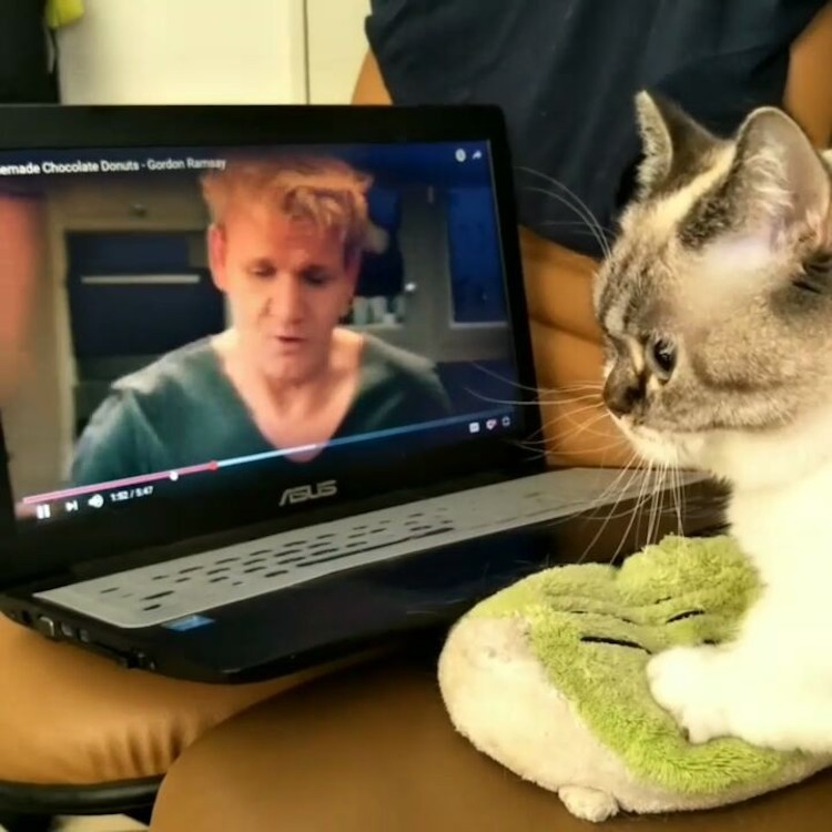 Focused Munchkin Cat Watches Gordon Ramsay Knead Dough for Helpful Biscuit Making Tips