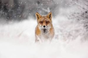 Red Fox in Blizzard
