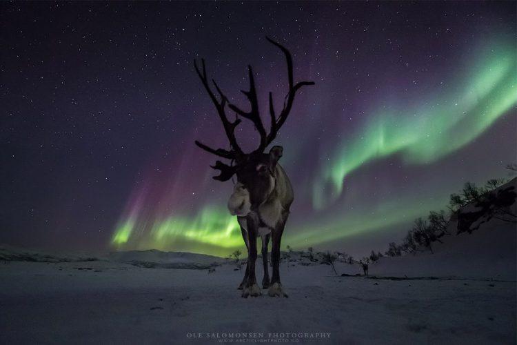 Reindeer Aurora