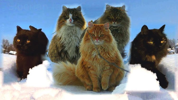 Gorgeous Long Haired Siberian Cats Hunker Down for the ...