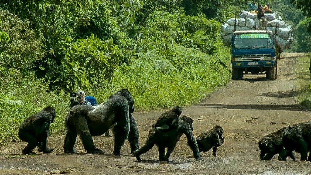 Proud Silverback Gorilla Stands in the Middle of the Road to Block Traffic So His Family Can Safely Cross