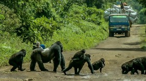 Silverback Gorilla Blocks Road for Family Crossing