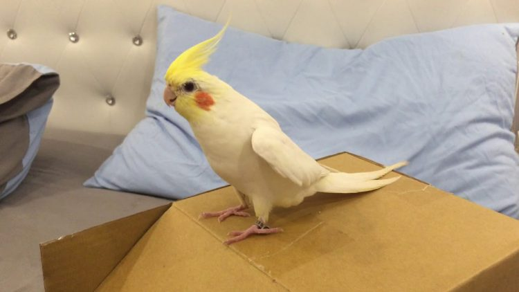A Lively Cockatiel Does a Little Tap Dance on the Top of a Box Without Any Human Encouragement