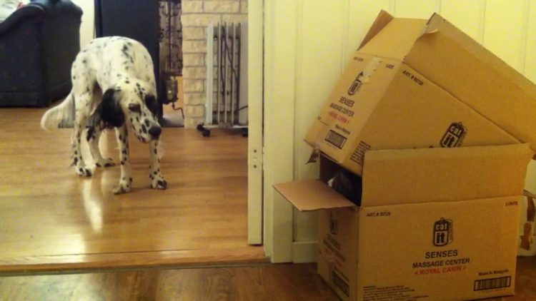 Hidden Cat Furtively Peeks Out at a Perplexed Dog From in Between Two Cardboard Boxes