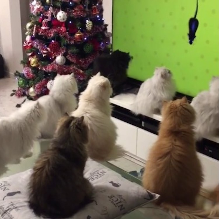 A Fascinated Group of Longhaired Cats Watch Animated Mice Run Across a Giant Television