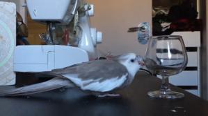 Cockatiel Pushing Glass