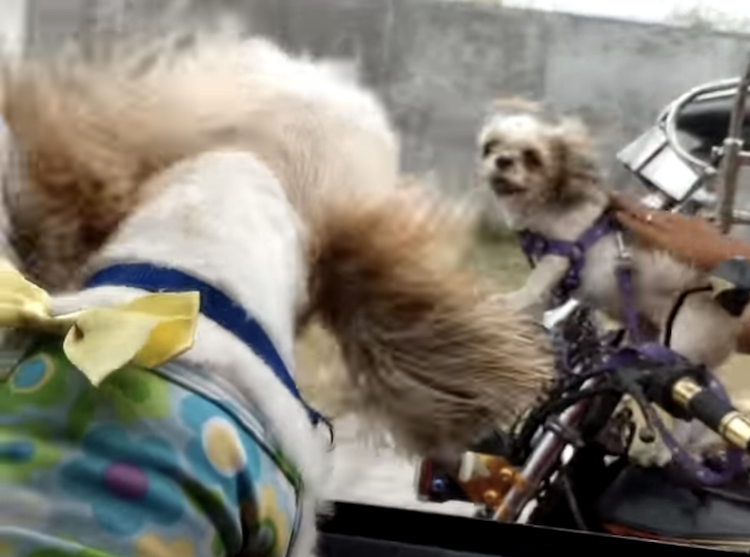 two little dogs engage in a bit of road rage while riding in