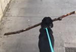 Dog With Giant Stick