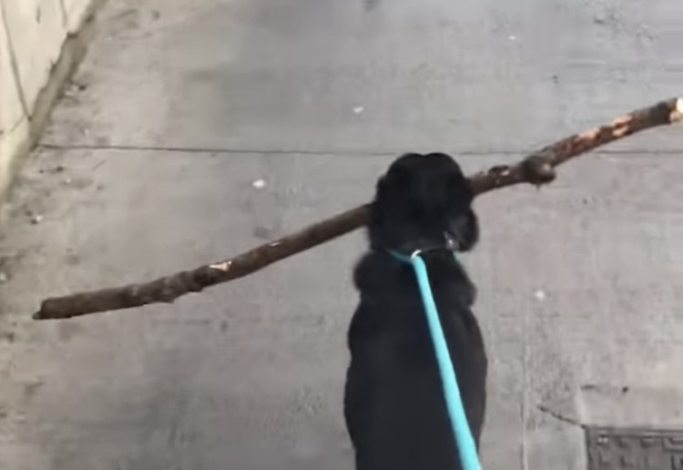 Determined Dog Deftly Navigates the Sidewalk With a Giant Stick In His Mouth to Add to His Collection