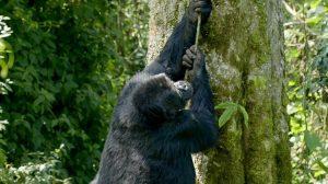 Gorilla Climbing and Falling