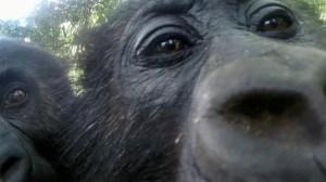 Gorillas in Mirror