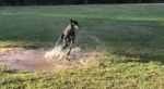 Greyhound Puddle Zoomies