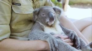 Harry the Chillest Koala