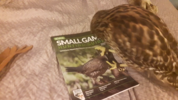 A Silly Pet Hawk Tries to Attack Pictures of Birds and Animals in a Small Game Hunting Guide