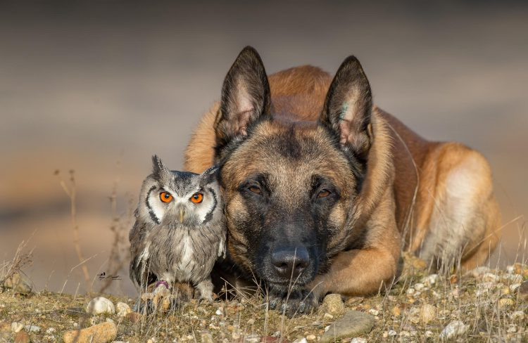 Stunning Photos of a Beautiful Shepherd Dog Posing Happily With His Owl Friends