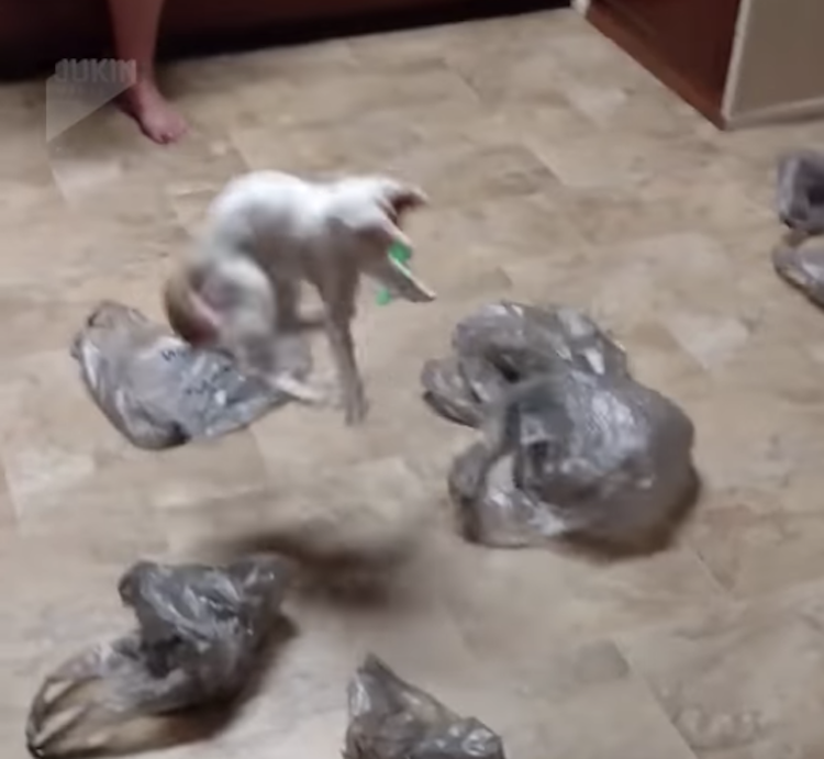 A Wiry Cat Repeatedly Leaps Up Off the Ground While Chasing After Flying Plastic Grocery Bags