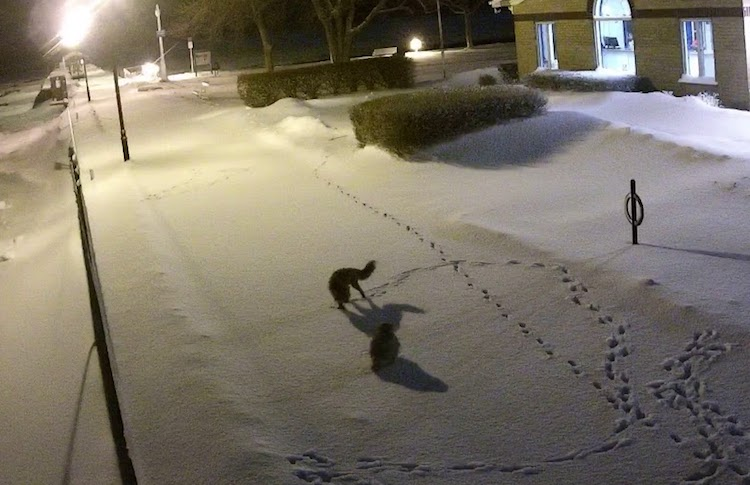 Security Cameras Capture the Sight of a Wary Fox and a Confident Owl Facing Off in the Fresh Snow