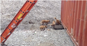 Scaveging Young Foxes