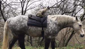 Siamese Cat Rides Connemara Pony