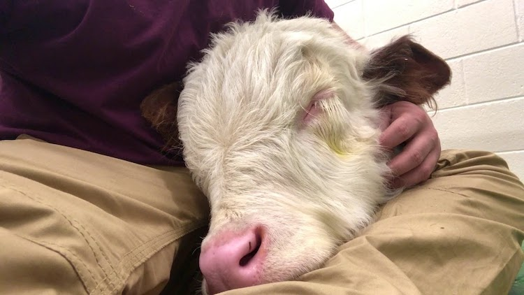 A Sleeping Baby Cow Softly Snores on His Human's Lap While Waiting to See the Veterinarian