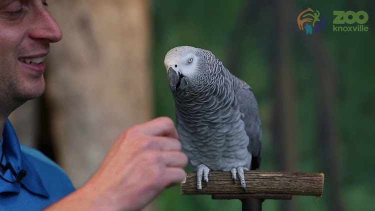 A Vocal African Grey Parrot Celebrates Her 30th Birthday by Doing Some of Her Best Impressions